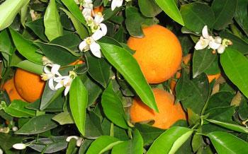 Citrus-Sinensis..