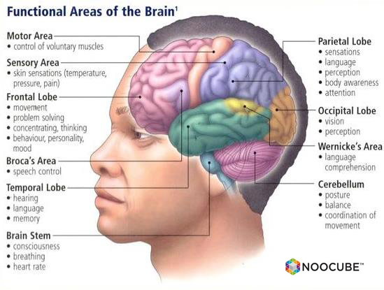 noocube-functional.areas.of.the.brain