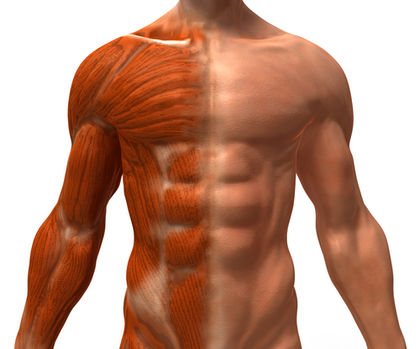 body-muscles