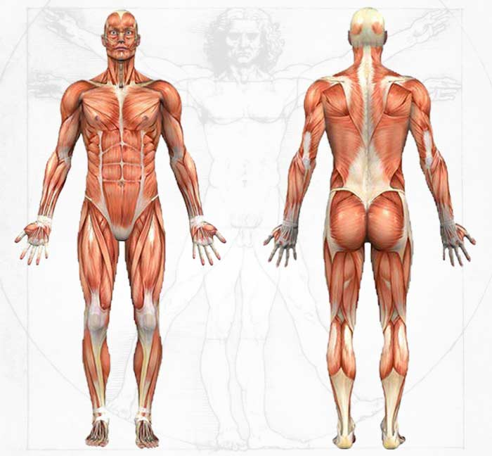 romanian-deadlift-muscles-involved